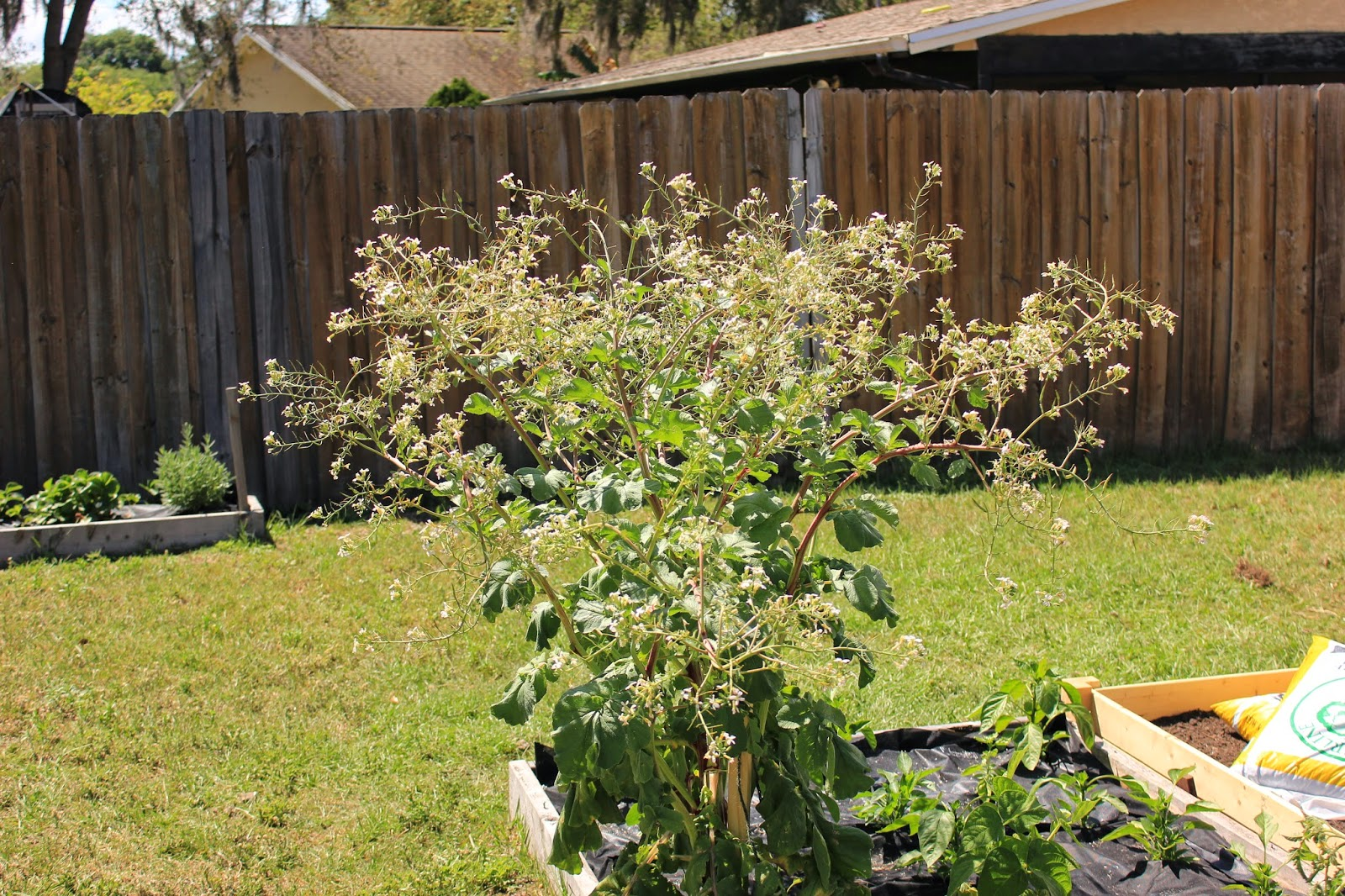Radish Plant gone to seed
