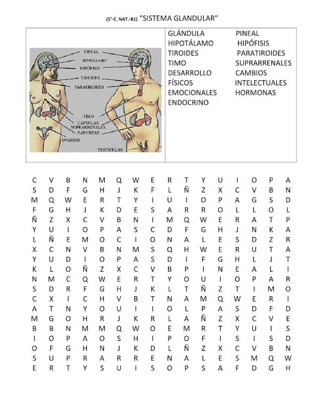 Sopa de letras sistema glandular