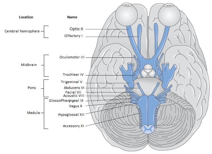 Cranial Nerve - Brainstem Function ~ Emi\'s Stethoscope
