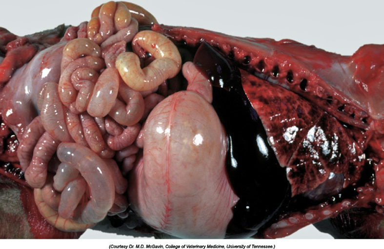 Coronaviruses in swine (TGE, HEV, PRCV, PED)