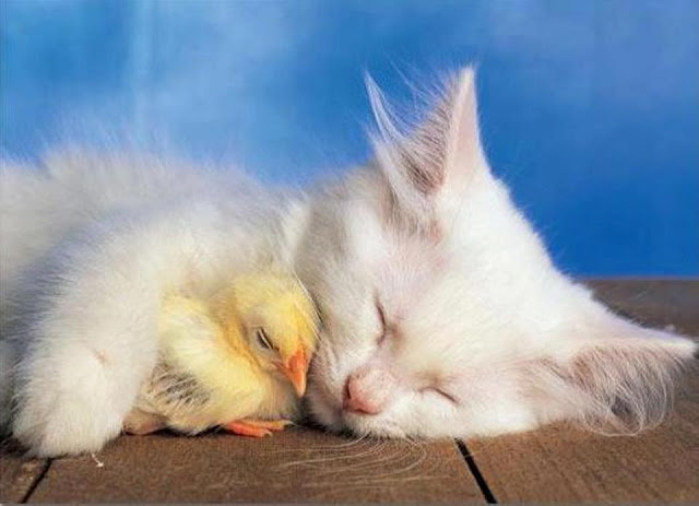 Cat and chicken sleeping together image