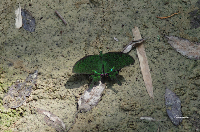 雞南山大琉璃紋鳳蝶