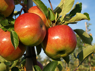 manzanas para cocinar