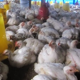 Cara Beternak Ayam Dengan Pola HCS
