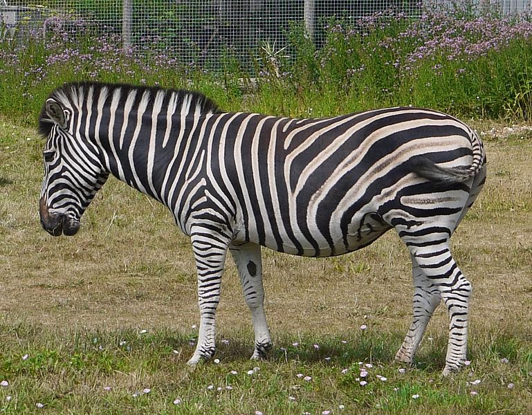 Image of a Chapman's zebra