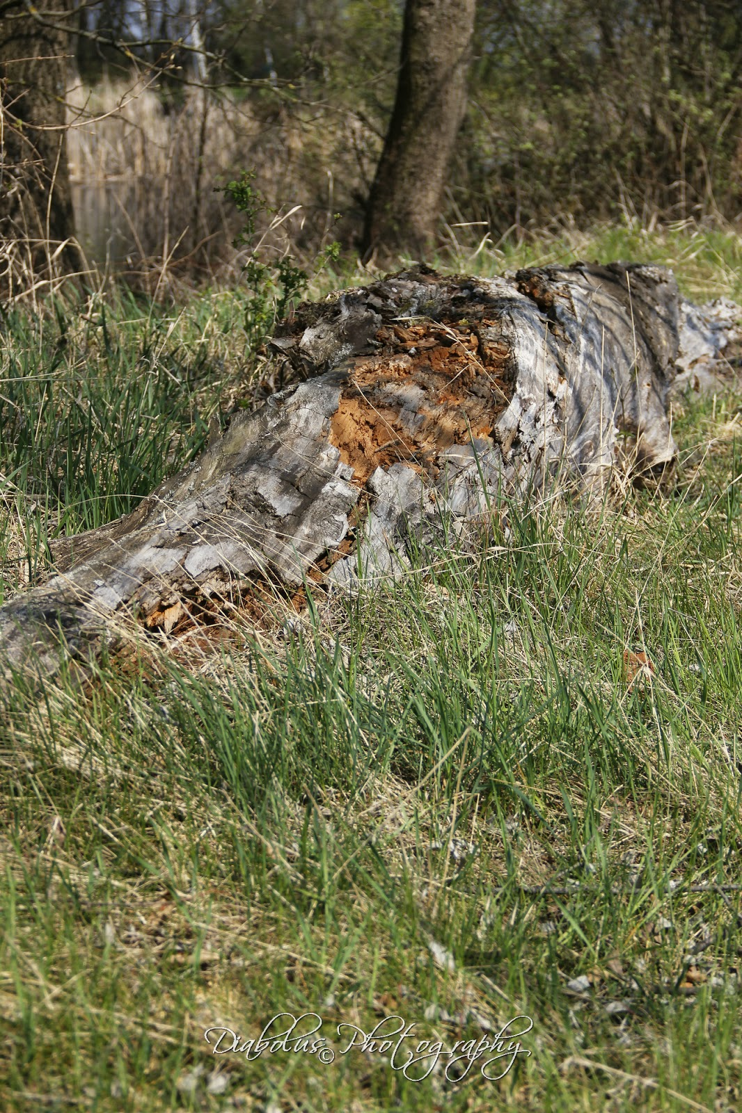 Ztrouchnivělý kmen stromu