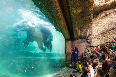 Visitors of the Zurich Zoo in awe as they saw the elephants swam across the aquarium