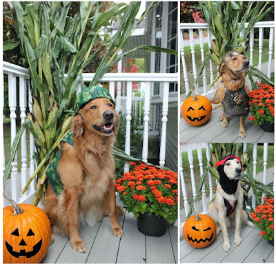 halloween pet safety three things to know if your dog eats chocolate