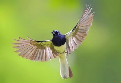 Faktor Dan Penyebab Burung Kicau Ngeriwik