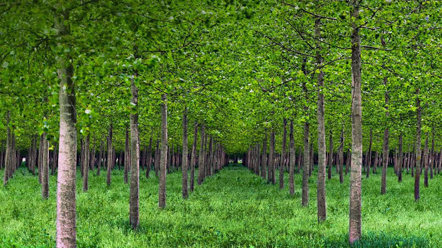 Poplar trees in Po Valley, Italy (© Eddy Galeotti/Alamy) 583