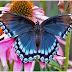 Kupu-kupu yg ga doyan selingkuh