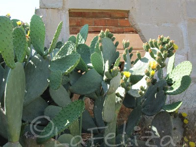 fotos von mallorca flora opuntien oder ohrenkaktus mit gelben bl ten. Black Bedroom Furniture Sets. Home Design Ideas