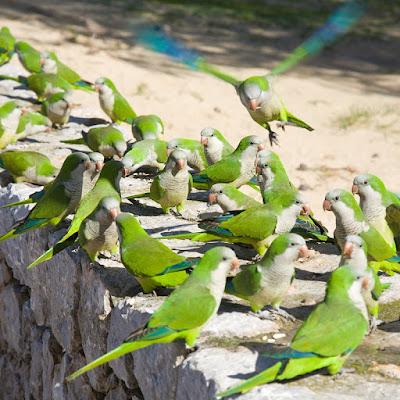 Las cotorras Argentinas de pecho verde, llegaron a España como mascotas en 1975, y su suelta accidental o voluntaria las ha convertido en una plaga.