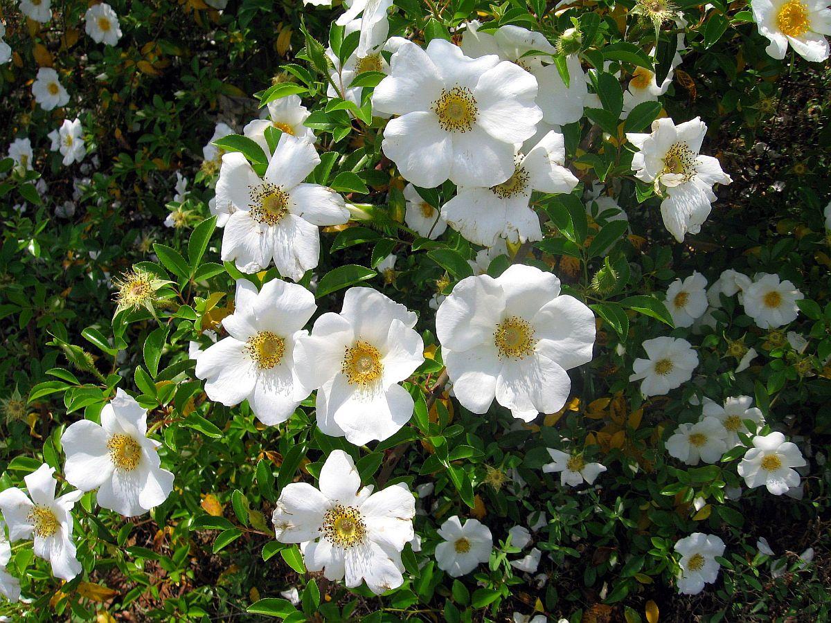 Wwe Wrestlers Profile American State Flower Cherokee Rose Gallery