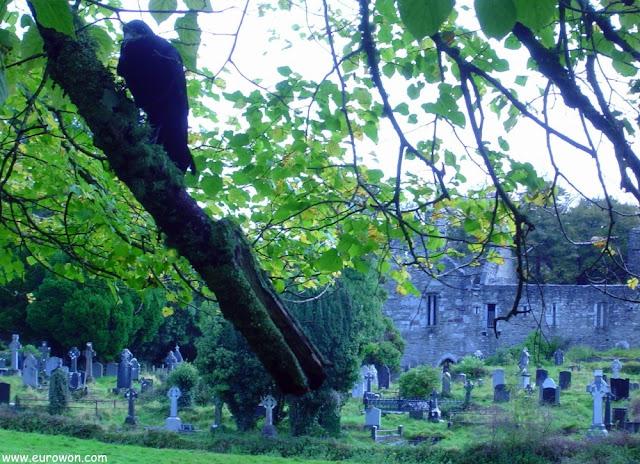Raven en cementerio de Killarney