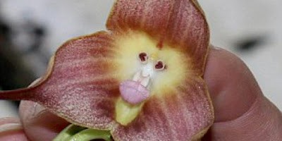 Flower-faced Monkeys tips-ricky.blogspot.com