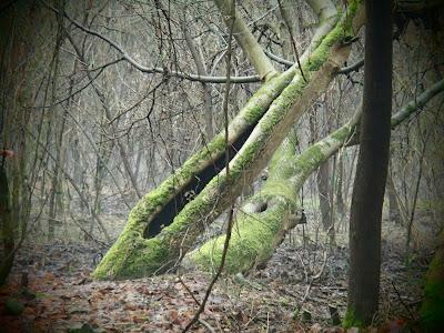odwilż w styczniu, grzyby zimowe, grzybobranie w styczniu, grzyby w Krakowie, Uszak bzowy Auricularia auricula-judae, Trzęsak pomarańczowożółty Tremella mesenterica, Zimówka aksamitnotrzonowa Flammulina velutipes, Próchnilec maczugowaty Xylaria polymorpha