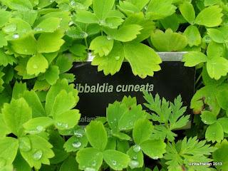 Sibbaldia cuneata