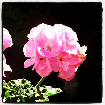 pink flower, geranium, pelargonium