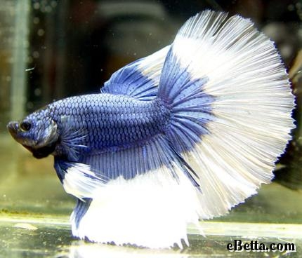 Nature lover betta fish for Male veiltail betta fish