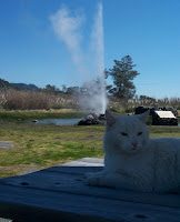 Cat at Old Faithful Geyser