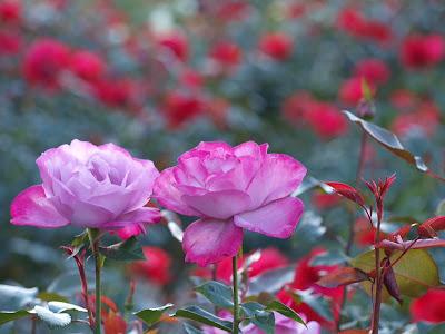 Rosas en mi jardín de color rosa