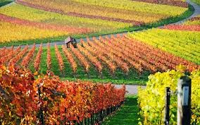 vineyard, grapes, grape farm