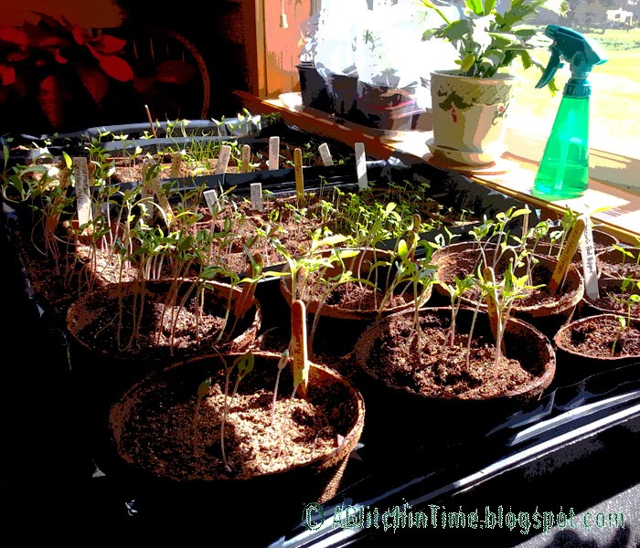 Flats of spring seedlings started indoors