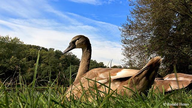 Tiere - Tierfotos - Vögel - Junger Schwan