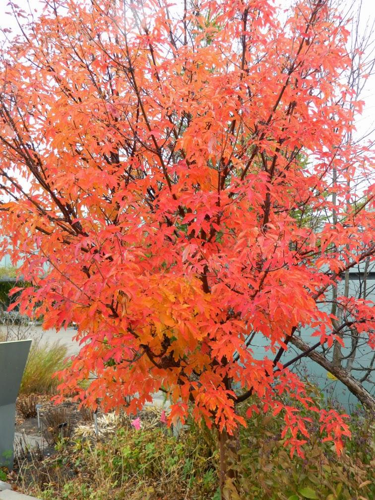 Acer griseum Paperbark maple fall foliage Toronto Botanical Garden by garden muses-not another Toronto gardening blog