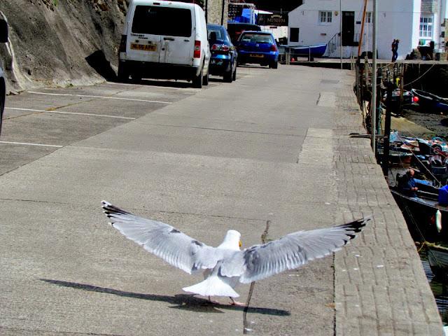gull taking flight