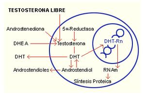 Aumenta tu respuesta máxima de testosterona