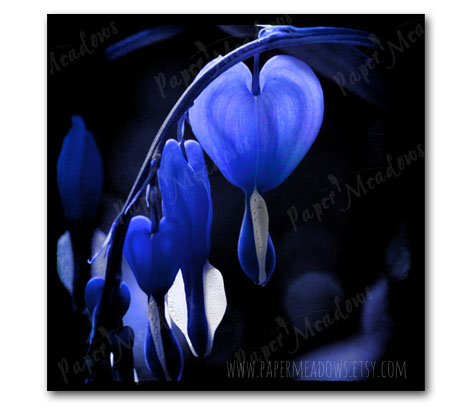 Valentine's Day Wall Decor. Blue Bleeding Heart. You can purchase and download our photography creations and instantly print at home from our Paper Meadows Photography Shop on ETSY. To Visit our shop now click here.