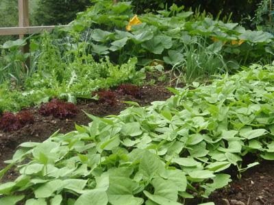 Como cultivar judias verdes cuidar de tus plantas es - Cultivar judias verdes ...
