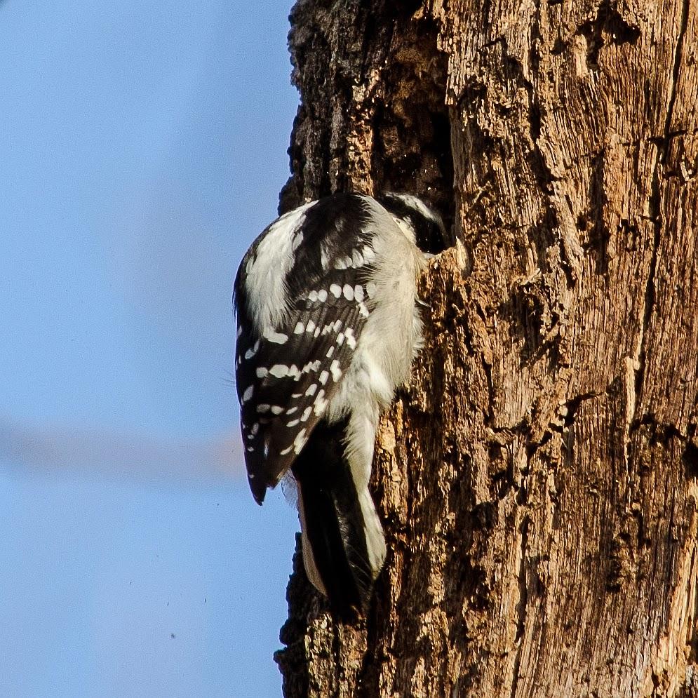 Downy Woodpecker Excavating