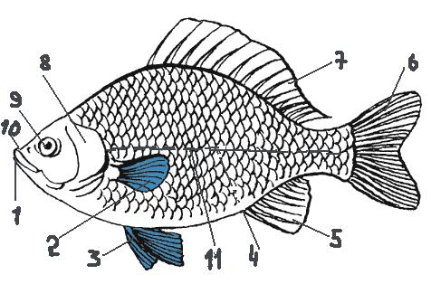 Внешнее строение рыбы.