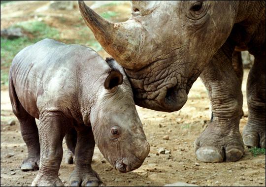 Yardy Yardy Yardy: Javan Rhino Extinct In Vietnam