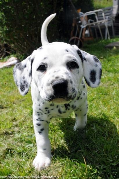 Funny Dalmatian puppy.