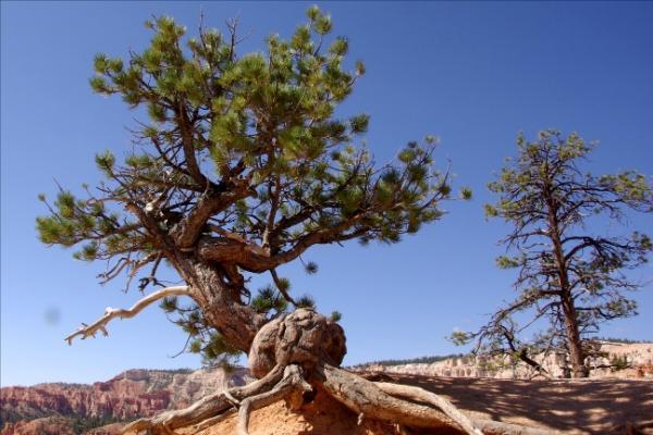 عينات '' لاقدم شجرة'' في العالم بالصور 16_bristlecone.img_assist_custom-600x400