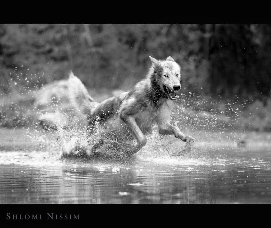 Amazing Wolf: White Wolf : Photographer Captures Amazing Interaction