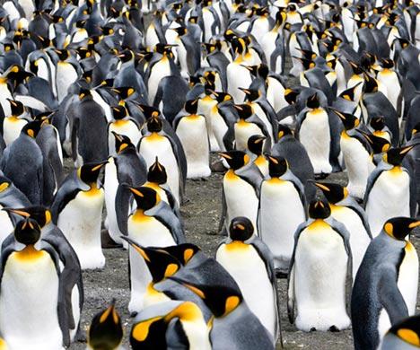 Ilmuwan  Manfaatkan Satelit Untuk Hitung Penguin