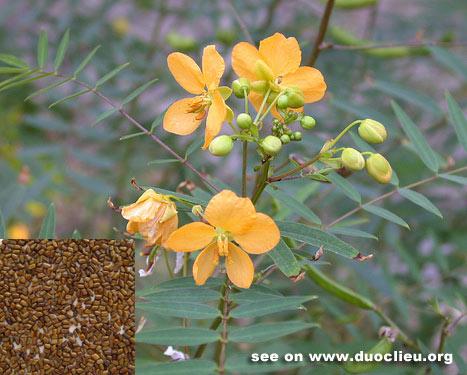 Cassia seed (Juemingzi)