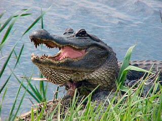 Funny Alligator