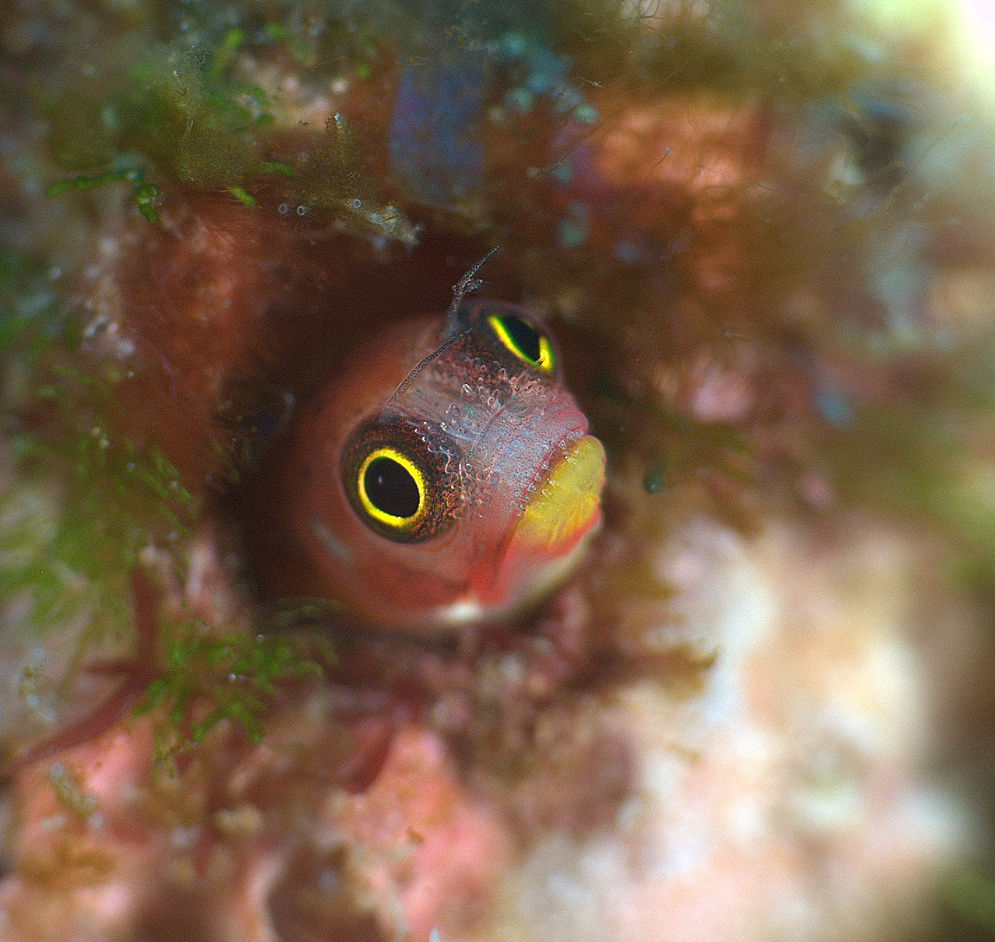 under pressure world: Mexican Barnacle Blenny series- Socorro ...