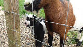 Baby goats at Jimmy's farm Ipswich Suffolk