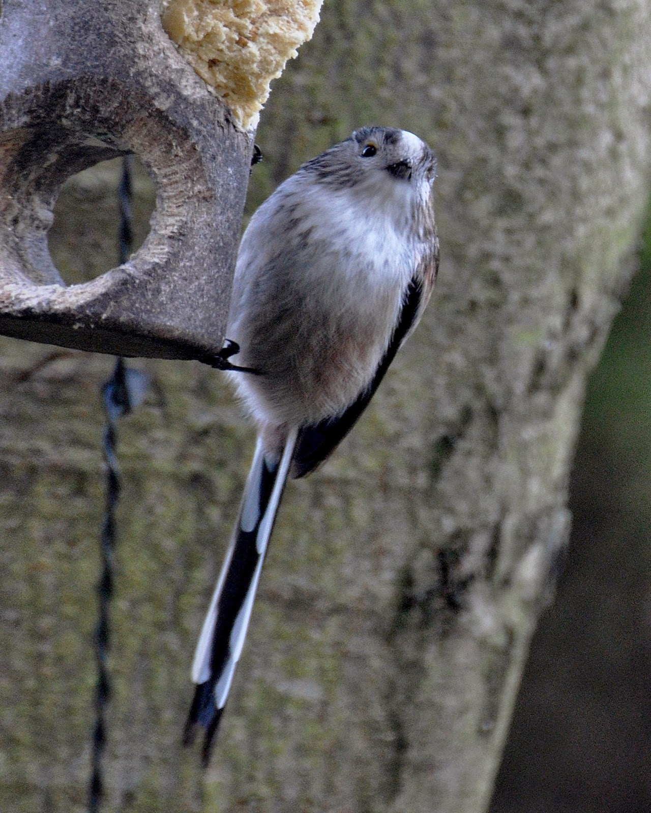 long-tailed tit on feeder