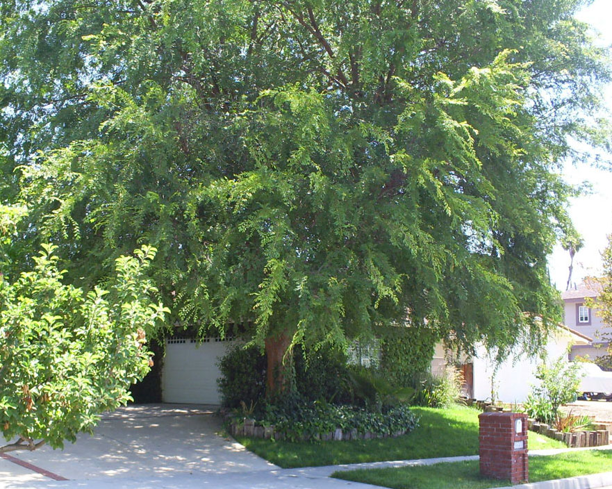 Brad 39 S Tropical Paradise Evergreen Elm Chinese Elm In