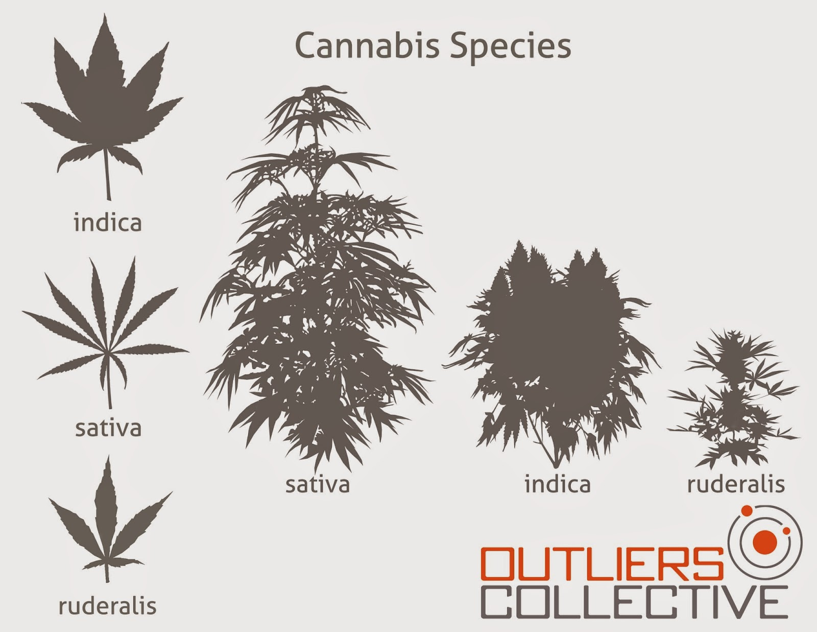cannabis indica a marijuana specie for medical and narcotic purposes Medical marijuana strains have different benefits and uses  and jack herer —  originate from just two species of plants: cannabis indica and cannabis sativa.