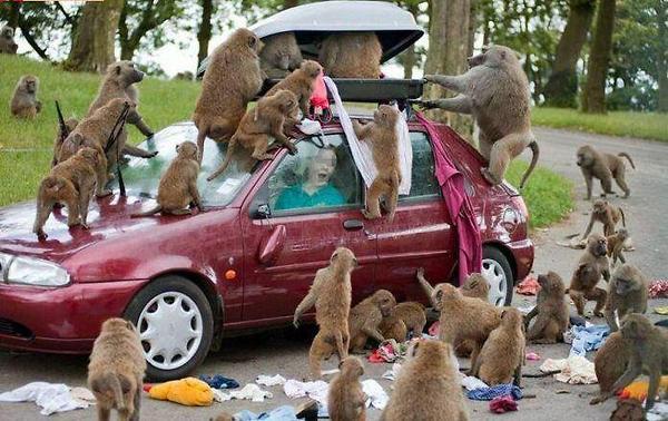 http://4.bp.blogspot.com/-JoM2VjvMVhg/TymPJ0bB4kI/AAAAAAAAAx4/gM8I2VHN1kg/s1600/attack-by-monkeys.jpg