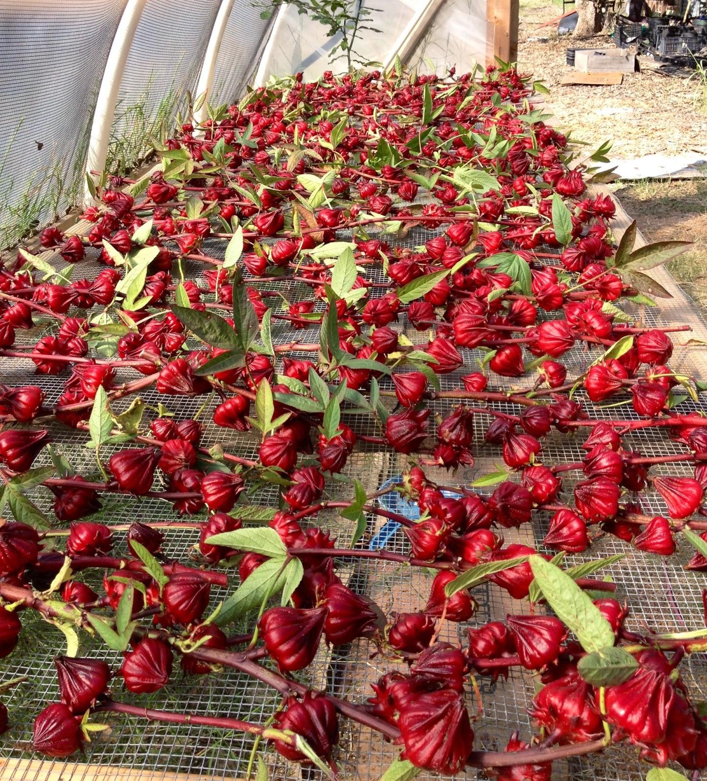 Seminte si plante de gradina hobby roselle thai red for Hibiscus arbol